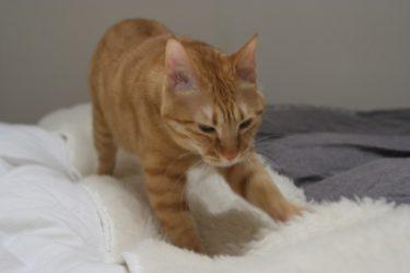 成猫がふみふみをするのは何故?ふみふみの時の謎の水滴にも迫ります!