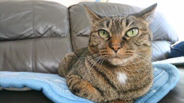 キジトラの飼い猫を見分けるポイントを持っていますか?